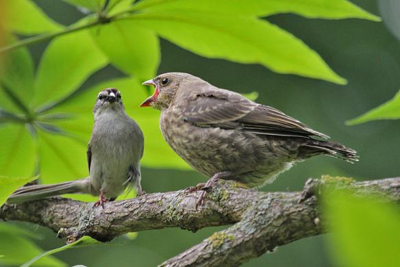 cowbird-chick-begging-4